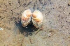 Berberecho común, edule de Cerastoderma, bajo el agua en el agua poco profunda a foto de archivo