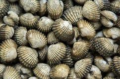 Berberechos crudos frescos de los crustáceos foto de archivo libre de regalías