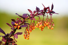 Berberis Obraz Royalty Free
