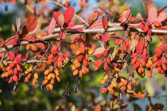 Berberis berries Royalty Free Stock Photography