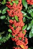 Berberis berries Stock Photos