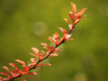 Berberis branch Stock Photos