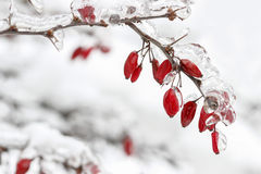 Berberis branch under heavy snow and ice Stock Photography