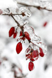 Berberis branch under heavy snow and ice Royalty Free Stock Photography