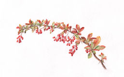 Berberis branch watercolor painting. The hand painted watercolor of a berberis branch Royalty Free Stock Photo