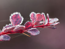 Berberis bush on frosty morning Royalty Free Stock Image