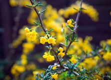 Berberis candidula shrub with yellow flowers, selective focus stock photos