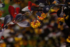 berberis De installatie van de tuin Royalty-vrije Stock Foto's