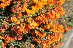 Berberis- eller barberrybuske med orange blommor Arkivbild
