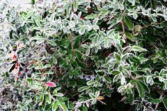 Berberis julianae bush Royalty Free Stock Photography