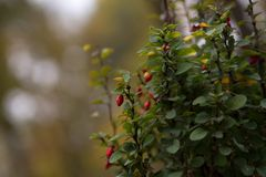 Berberis L vulgaris buisson avec le fruit Photographie stock