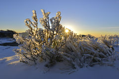 Berberis morrisonensis Hayayta. In Yushan national park. In winter time ice and snow covered on plant when sunrise it looks like jady Royalty Free Stock Images
