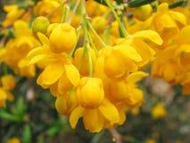 Berberis orange Photographie stock libre de droits