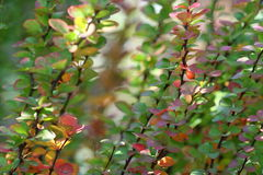 Berberis Ottawensis Supera. Automne Photo stock