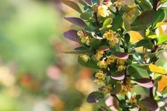 Berberis Ottawensis Supera del resorte Fotografía de archivo