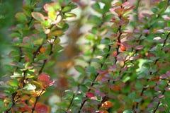 Berberis Ottawensis Supera. Outono Foto de Stock
