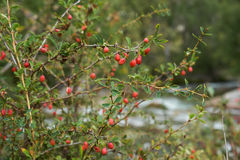 Berberis shrubs with berries in Altai mountains Stock Photography