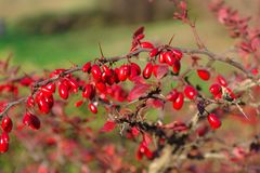 Berberis thunbergii Stockfoto