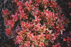 Berberis thunbergii Admiration close up in summer Royalty Free Stock Images