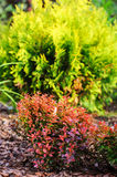 Berberis thunbergii Admiration combination with Thuja occidentalis Golden Globe Royalty Free Stock Photos