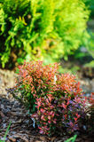 Berberis thunbergii Admiration combination with Thuja occidentalis Golden Globe Stock Images
