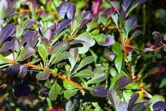 Berberis thunbergii artopurpurea Royalty Free Stock Image