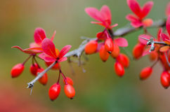 Berberis thunbergii Atropurpurea Royalty Free Stock Photo