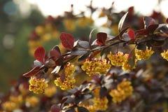 Berberis thunbergii Atropurpurea stock photo