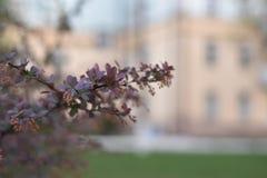 Berberis thunbergii dekoratives beständiges Laub roten Teppichs - natürlicher Hintergrund lizenzfreie stockfotos