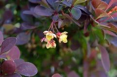 Berberis thunbergii flower cluster closeup stock photo