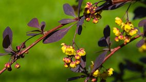Berberis thunbergii, Japanese Barberry, flower clusters, buds and red leaves macro, selective focus, shallow DOF Stock Photos