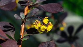 Berberis thunbergii, Japanese Barberry, flower clusters, buds and red leaves macro, selective focus, shallow DOF stock photography