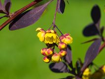 Berberis thunbergii, Japanese Barberry, flower clusters, buds and red leaves macro, selective focus, shallow DOF Stock Photo