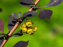 Berberis thunbergii, Japanese Barberry, flower clusters, buds and red leaves macro, selective focus, shallow DOF Royalty Free Stock Photos