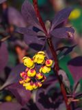 Berberis thunbergii, Japanese Barberry, flower clusters, buds and red leaves with raindrops macro, selective focus Stock Photos