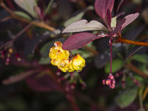 Berberis thunbergii, Japanese Barberry, flower clusters, buds and red leaves with raindrops on dark bokeh background Stock Image