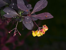 Berberis thunbergii, Japanese Barberry, flower clusters, buds and red leaves with raindrops on dark bokeh background Royalty Free Stock Photo