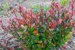 Berberis thunbergii Stock Images