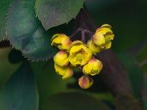 Berberis thunbergii, Japoński berberys pospolity, kwiatów grona, pączki i czerwień liście z raindrops makro-, selekcyjna ostrość Obrazy Stock
