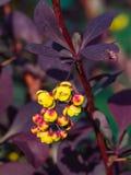 Berberis thunbergii, Japoński berberys pospolity, kwiatów grona, pączki i czerwień liście z raindrops makro-, selekcyjna ostrość Zdjęcia Stock