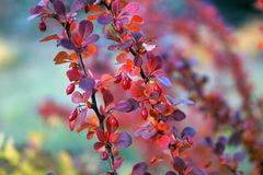The bush of Berberis thunbergii Green Carpet in the autumn stock image