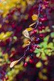 Berberis thunbergii roślina w jesieni Fotografia Royalty Free