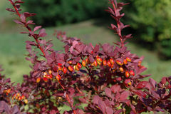 Berberis thunbergii Royalty Free Stock Photos