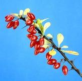 Berberis; vulgaris Obrazy Stock