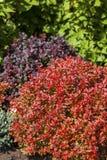 Berberis vulgaris berberis royalty-vrije stock afbeeldingen