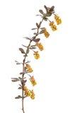 Berberis vulgaris branch Stock Images