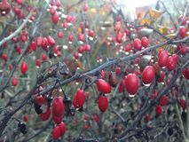 Berberis Vulgaris Branch with Water Drops on Berries after Rain in Winter. Royalty Free Stock Images