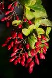 Berberis vulgaris. Edible red berries branch. European barberry or simply Barberry - Berberis vulgaris Royalty Free Stock Photos