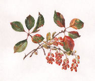 Berberis vulgaris hand painted watercolor Stock Photo