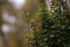Berberis vulgaris L krzak z owoc fotografia stock